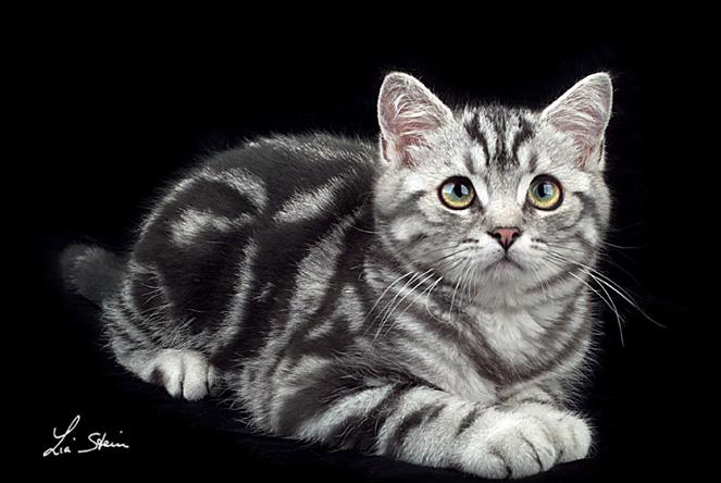 Anagrafe Nazionale Felina Le Razze Feline British Shorthair